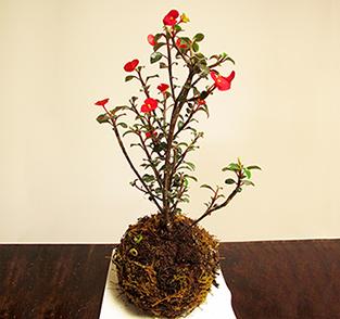 Kokedama planta sombrero chino