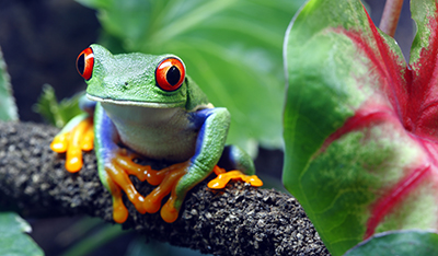 Red-Eyed Tree Frog from Costa Rica