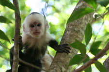 Picture of a capuchin monkey from Manuel Antonio National Park in Costa Rica