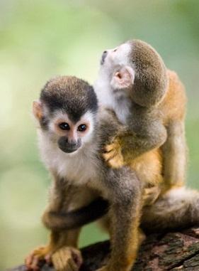 Foto de un Mono Titi de Costa Rica