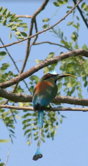 pajaro-bobo-monteverde-costa-rica