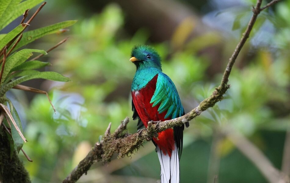 Beautiful picture of a Costa Rican Quetzal