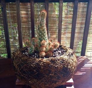 Foto de un cactus en kokedama