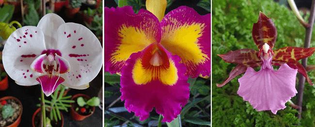 Orquideas cultivadas en el valle central de costa rica